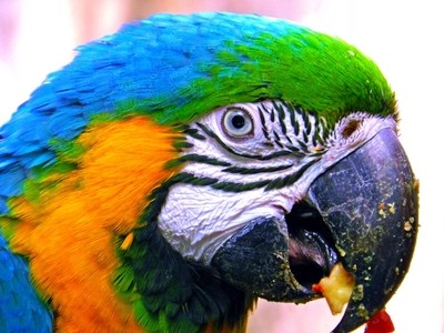 Gold Macaws