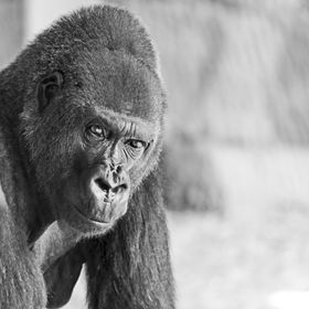 This is Beau one of the oldest gorillas at Al Ain Zoo, UAE