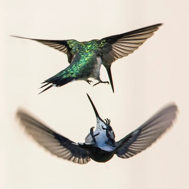 Hummingbirds getting territorial about a feeder!
