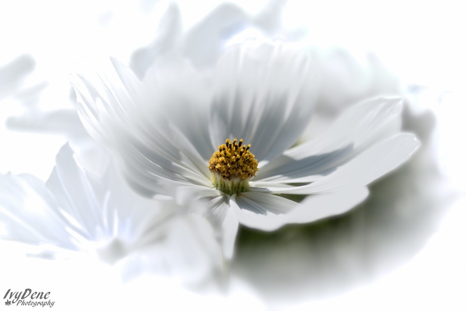 The second in my series of flower photography