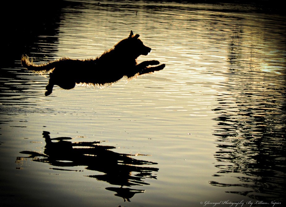 Warn summer evening down by the river. My Golden Retriever diving into the water to keep cool.