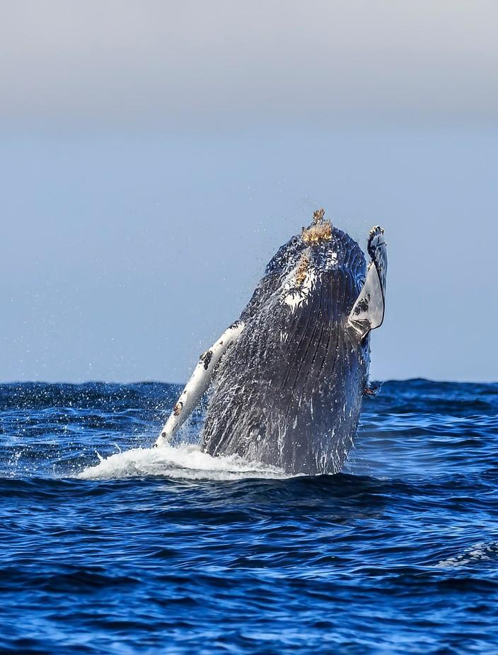 Humpback Breach by patrick9x9 - Big Mammals Photo Contest