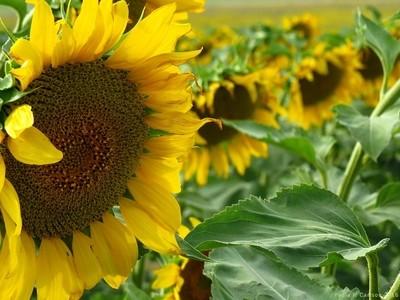 Fun Sunflowers