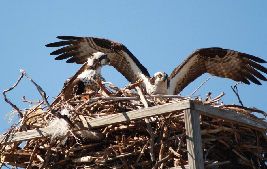 Island Beach State Park in NJ has 24 nesting pair along a 10 mile stretch of natural beach