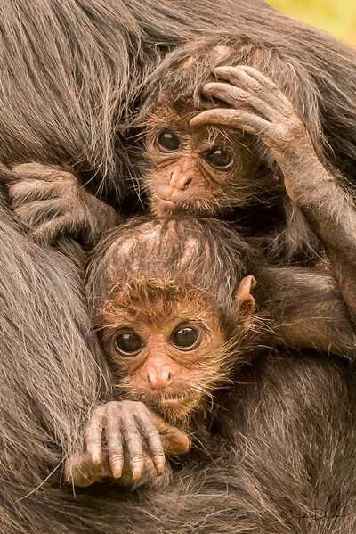 Colombian spider monkey babies
