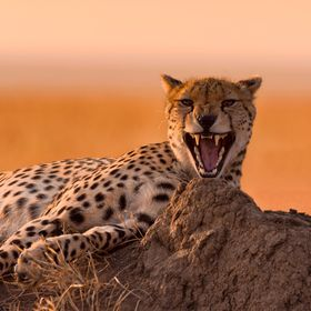 A beautiful cheetah lies on top of a termit nest on the big plains of the Serengeti. Tanzania. Caught in the middle of a big sleepy yawn.