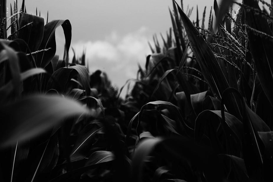 BW corn