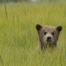 One of a pair of brown bear cubs that had cuteness to spare. Lake Clark National Park. 2016