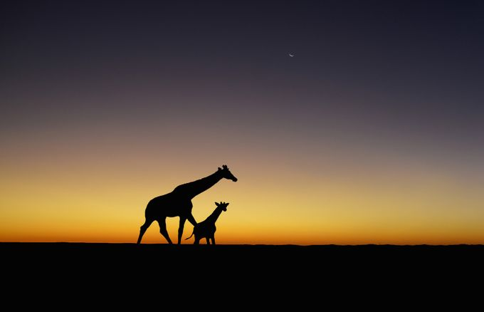 Giraffes - Sunset Giraffe Silhouettes by CathyWithers-Clarke - The Zen Moment Photo Contest