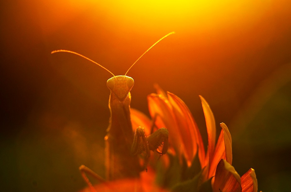 Small mantis under the rays of the setting sun...