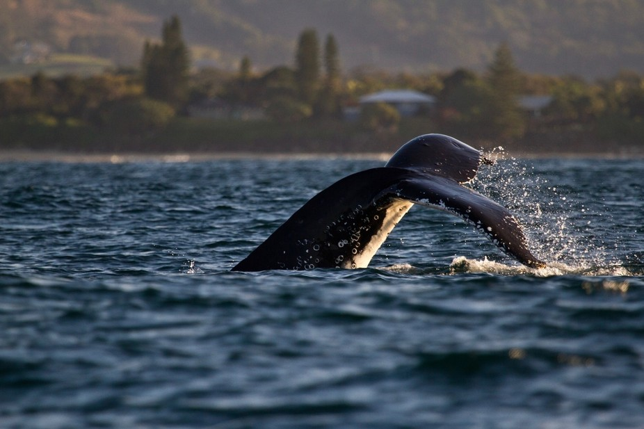 Humpback Whale off Byron Bay, Australia on the way back south to Antartica.