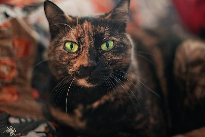 Halloween Kitty by keeley15lf - Green Eyes Photo Contest