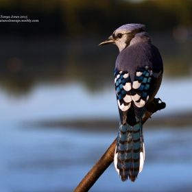 I caught this beautiful Blue Jay perched on a white birch branch just as the sun was rising casting a lovely sheen on its feathers as it looks at...