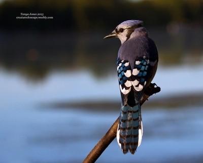 Blue Jay at Dawn