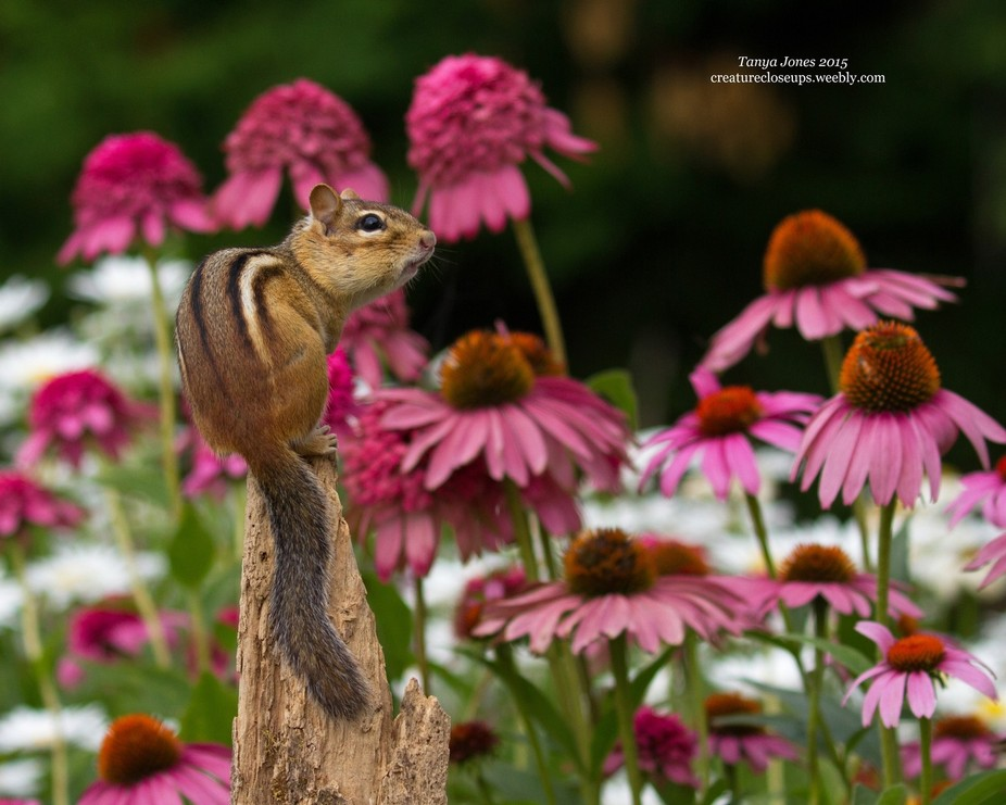 A chipmunk relaxing at the top of a fence post in my garden enjoying the view