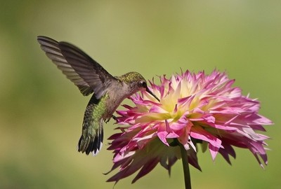 Hummingbird on Dahlia