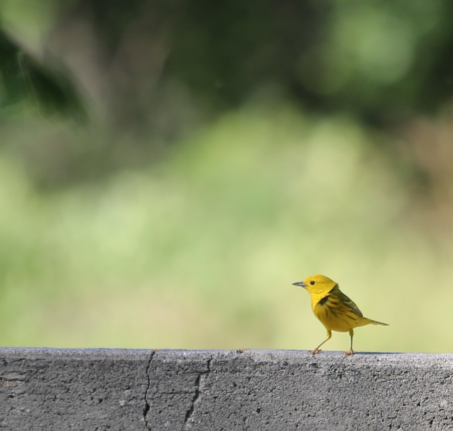 This bird was so small that I couldn't believe my eyes at first look. She was zipping ar...