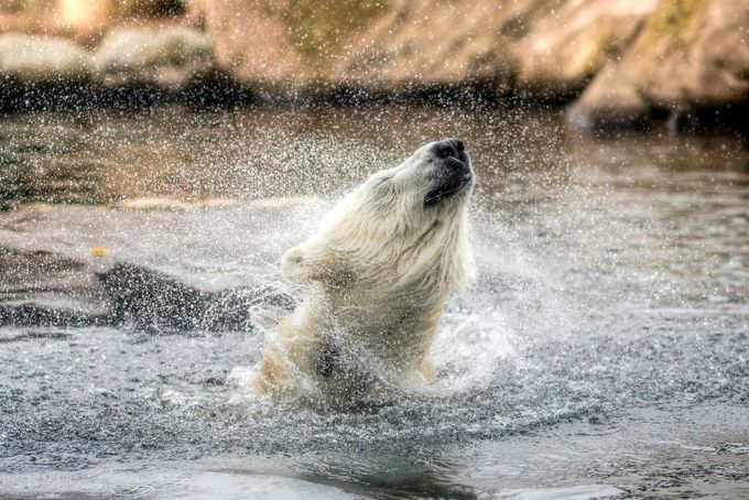 Polar bears are just big doggies by kjoya - Animals And Water Photo Contest