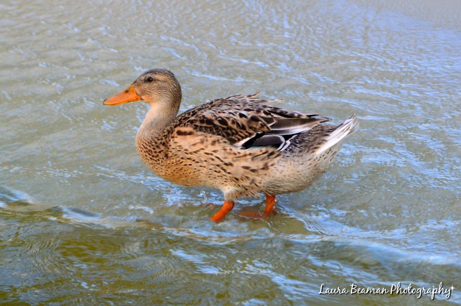 I took multiple photos of ducks while I was on vacation a few weeks ago. This is one of the ducks...