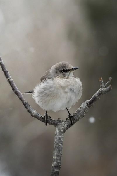 Mockingbird in winter