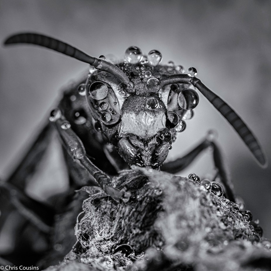 Wasp in the rain by chriscousins monochrome macro photo contest