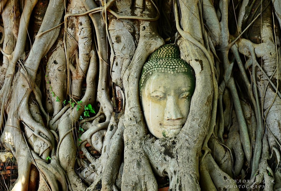 Head of Buddha statue in the tree roots at Wat Mahathat Temple of the great relics, Ayutthaya, Th...
