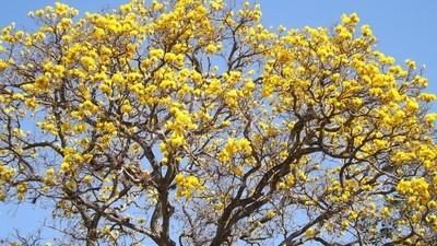 Ipê amarelo (Yellow ipê)