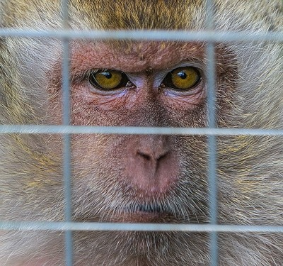 Caged Monkey-1