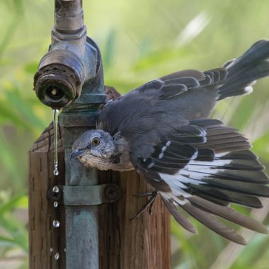This Northern Mockingbird was trying to figure out how to get a drink of water.  The side approach was not working.  It finally did figure out to lean over from the top of the faucet.