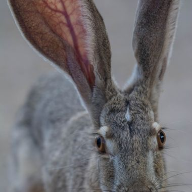 I was sitting on the ground when this Black-tailed Jackrabbit came hopping towards me.