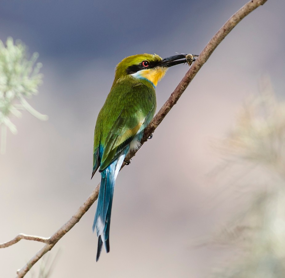 Bee-eater with it's prey. A Bee!! Taken at Ai-Ais in Namibia