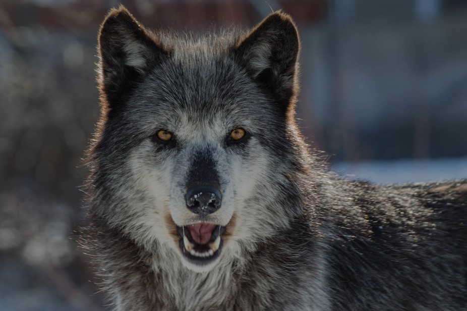 A wolfish grin
