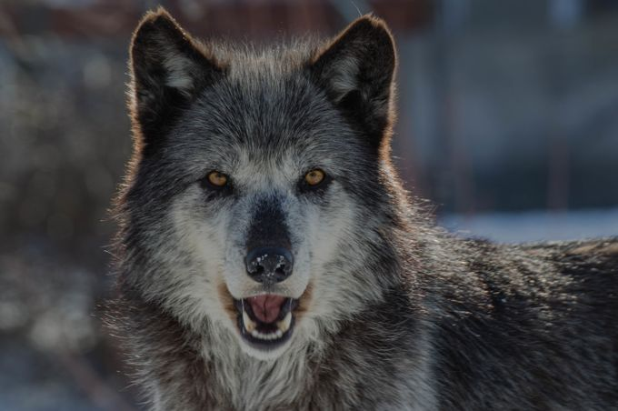 A wolfish grin by mikecasey - Celebrating Nature Photo Contest Vol 5