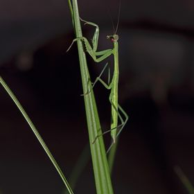 Praying Mantis on Blade of Grass