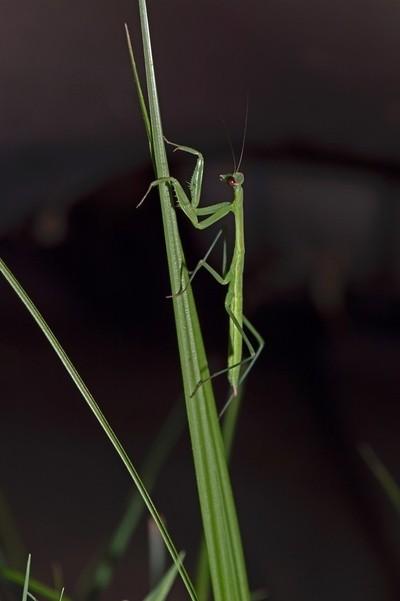 Praying Mantis on Blade of Grass