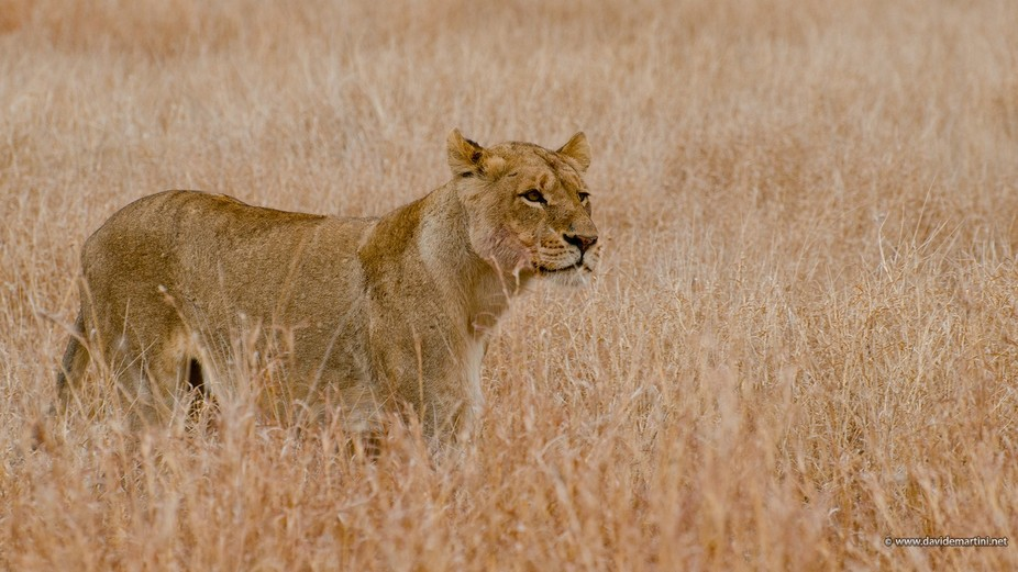 Hunting lioness in Kruger National Park (South Africa)
