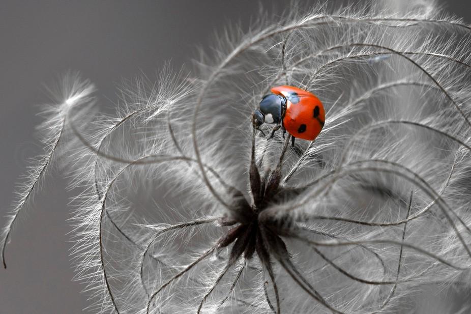 Ladybug on clematis vitalba seeds