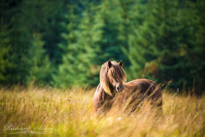 Dartmoor Pony by RichardShore - Celebrating Nature Photo Contest Vol 4