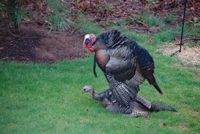 Turkeys Caught in the Act