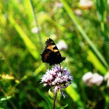 Back of Small Tortoiseshell Butterfly.