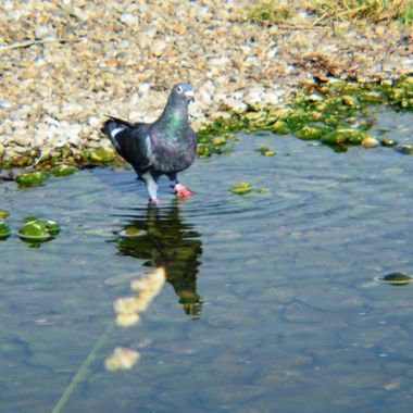 Pigeon in Puddle.