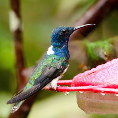 An Ecuadorian Hillstar pauses at the feeder for refreshment