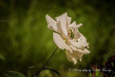 grasshopper on rose-
