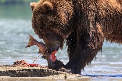 Caviar Craving Bear