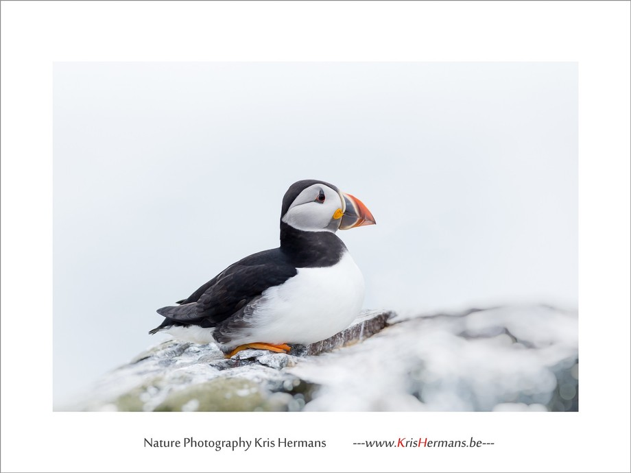 Puffin in Northumberland, UK