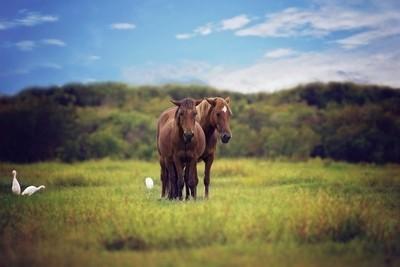 Wild Horses of Corolla, N.Caronlina