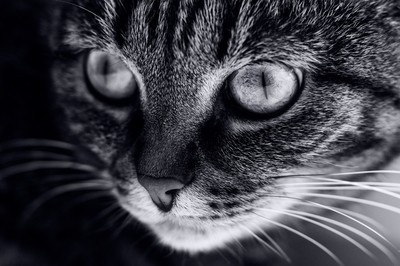 Fifty Shades of Grey Cat