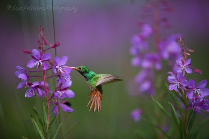 Get low and slow by Antiquefx - Hummingbirds Photo Contest