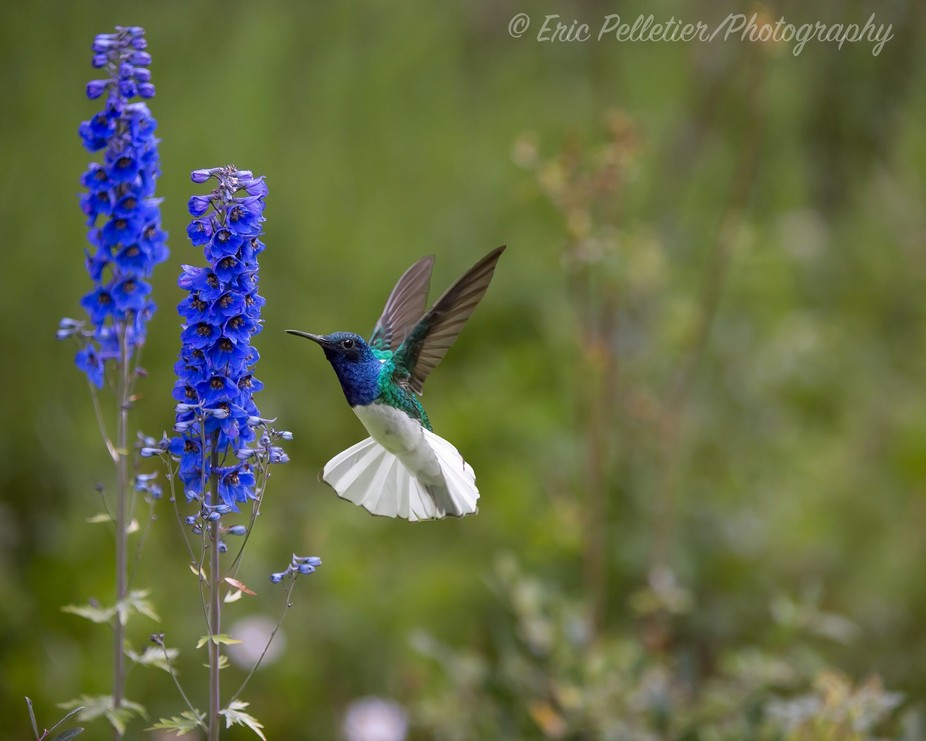 White-Necked jacobin aiming for food a favorite in Mindo Ecuador