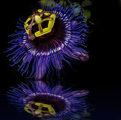 Close up passionflower